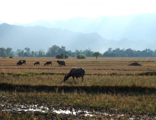 boeufs paysage laos