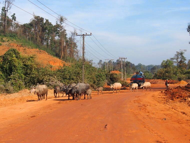 troupeau boeufs laos